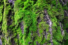 The moss on the tree Royalty Free Stock Image