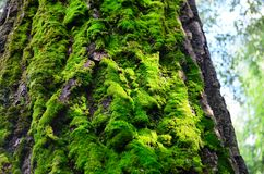 The moss on the tree Royalty Free Stock Photos