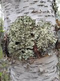 Moss on tree. Green moss growing on birch tree Royalty Free Stock Photo