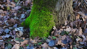 Moss on the tree stock footage