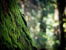 Moss on tree in Koyasan with selective focus. Moss on tree in Koyasan, Japan with selective focus Royalty Free Stock Photos
