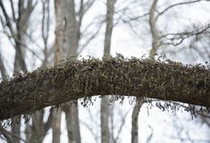 Moss on a Tree Limb. Drying moss growing out of a tree limb stock photography