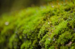Moss is on the tree. Moss is flora and growth on the tree in deep forest . it has water o spore Royalty Free Stock Image