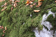 Moss on the tree. In autumn in mountain Stock Photo