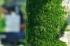 Moss on the tree. Moss tree green tropical morning humidity sunny nikon 50mm d90 blur details stock image