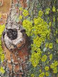 The moss on the tree. The moss on the tree, similar to Africa. Close-up Royalty Free Stock Photo