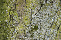 Moss On A Tree. Royalty Free Stock Photography