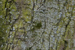 Moss On A Tree. Stock Photography