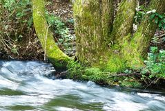 Moss Tree and River. There are thousands of known species of mosses. A hardy plant, it has been found in habitats ranging from the humid tropics to the polar Stock Images