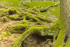 Moss Tree Roots Forest Arkivfoto