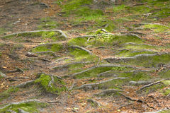 Moss and tree roots Royalty Free Stock Photography