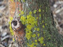 The moss on the tree. The moss on the tree, similar to Africa. Close-up Royalty Free Stock Images