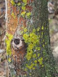 The moss on the tree. The moss on the tree, similar to Africa Royalty Free Stock Photo