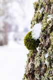 Moss on the tree Royalty Free Stock Photography