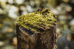 Moss on a tree stump Stock Photography
