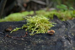 Moss on a tree stump Royalty Free Stock Images