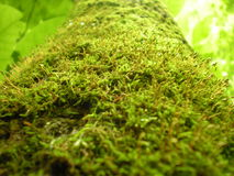 Moss on a tree. Taken of moss that I spotted covering the side of a tree while on a walk in Dawson PA along the trail Royalty Free Stock Image
