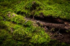 Moss on tree trunk Royalty Free Stock Photo