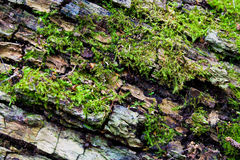 Moss on tree trunk. A macro image of moss growing on a dead tree stump Royalty Free Stock Photography