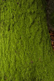 Moss in a tree trunk Royalty Free Stock Image