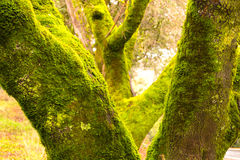 Moss on the Tree Trunks Royalty Free Stock Photography