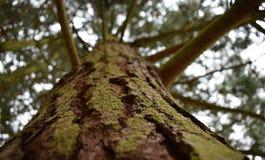 Moss Tree Upwards Perspective Fotografia Stock