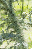 Moss on a tree Royalty Free Stock Images