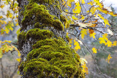 Moss on Tree, Yosemite Stock Photos