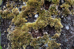 Moss on trees bark Stock Image