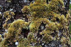 Moss on trees bark Stock Images