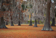 Moss Trees 3. Fall landscape of oak trees with moss Stock Image