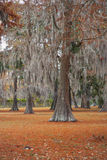 Moss Trees 1. Fall landscape of oak trees with moss Stock Images