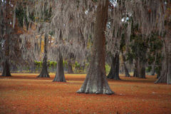 Moss Trees 1. Fall landscape of oak trees with moss Stock Photo