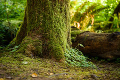 Moss on Trees. Moss on tress and rain forest floor Royalty Free Stock Photography