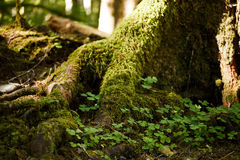 Moss on Trees. Moss on tress and rain forest floor Stock Image