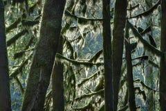 Moss Trees, Vreedzaam Noordwesten stock foto's
