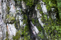 The moss on the trunk of the birch macro background Royalty Free Stock Image