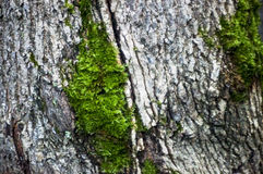 The moss on the trunk of the birch macro background Royalty Free Stock Photography