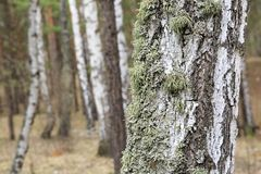Moss on the trunk of an old birch Royalty Free Stock Photo