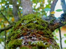 Moss on the trunk of a pear stock images