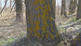 Moss on the trunk. Of a tree stock footage