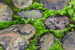 Moss trying to grow inbetween cobbled pavement in thailand.  Royalty Free Stock Images