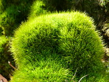 Moss tuft Stock Photos