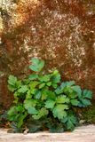 Wild green plant growing at the foot of a stone wall royalty free stock image