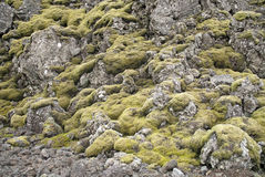 Moss and volcanic rock in iceland Stock Images