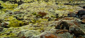 Moss on volcanic rocks in Iceland Royalty Free Stock Images