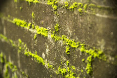 Moss on the Wall Royalty Free Stock Image