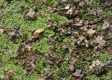 Moss on wall. Close up of a old stone texture with moss algae Lichen background Stock Image