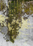 Moss on wall Royalty Free Stock Photo