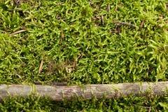 Moss wall texture, green reindeer grass background stock image